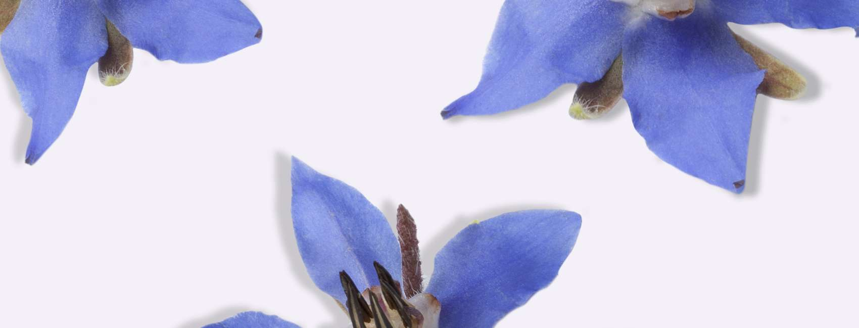 Blue borage flower on grey background